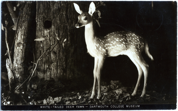 postcard showing deer in Wilson Hall
